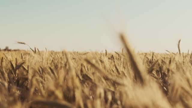 field of wheat - four seasons filmów i materiałów b-roll