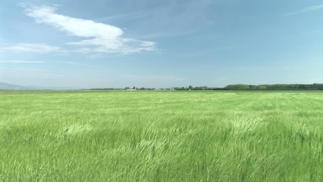 HD: Field of wheat video