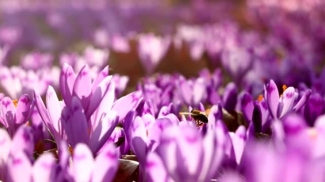 Field of wild purple crocus flowers with oaks trees valley at sunset. Beauty of wildgrowing spring flowers crocus blooming in spring video