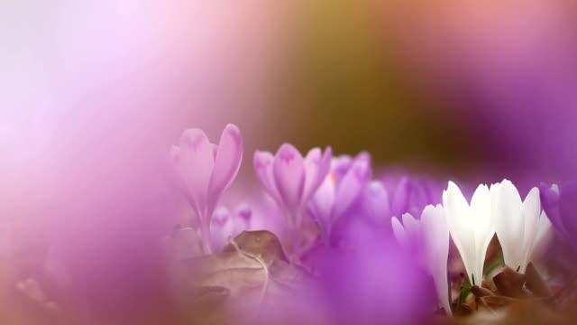 vidéos et rushes de domaine du sauvages crocus violets avec vallée arbres chênes au coucher du soleil. beauté de crocus de fleurs de printemps wildgrowing qui fleurit au printemps - crocus