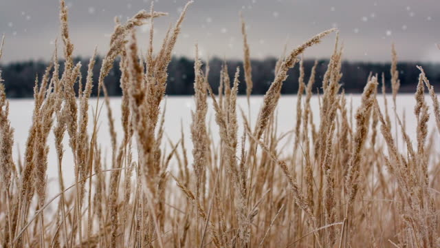 Field of winter wheat with snowflakes video