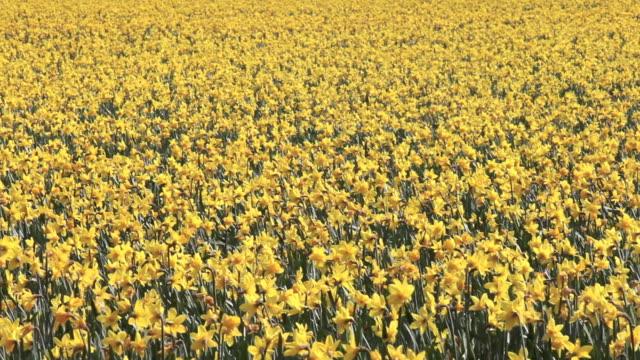 Field of yellow daffodils video