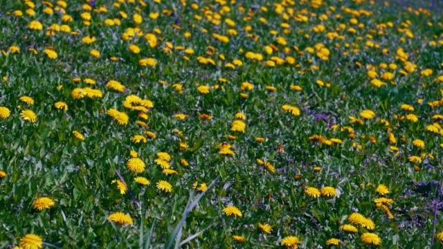 Field of yellow dandelion flowers.