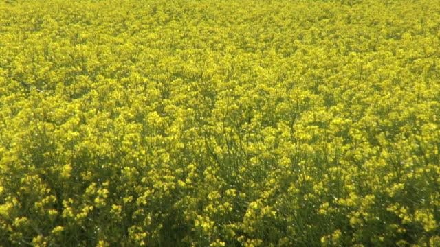 field of yellow flower background - intoning bildbanksvideor och videomaterial från bakom kulisserna