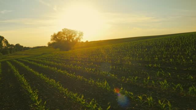 vidéos et rushes de vue aérienne de champ maïs plantes de jeune au coucher du soleil - maïs culture