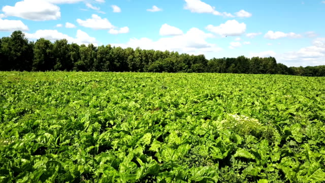 Field of young green sprouts of sugar beet video