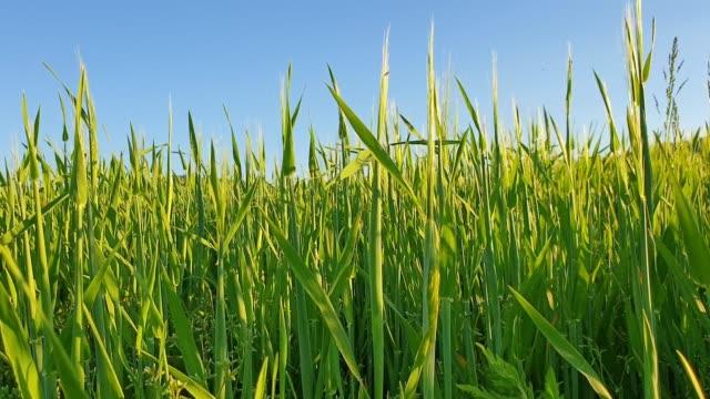 vidéos et rushes de champ de jeune blé au printemps - prise avec un appareil mobile
