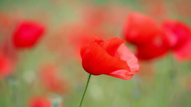 Field poppy flowers video