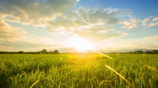フィールドライス、美しい朝焼けの朝 - 水田点の映像素材/bロール