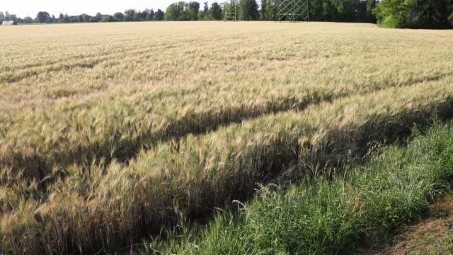 Field with an Outstretched Wheat: Agriculture Theme Field with an Outstretched Wheat: Agriculture Theme agricultural occupation stock videos & royalty-free footage