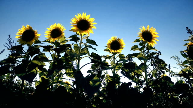 Field with blooming sunflowers sway  on wind breeze against sunset, low angle view