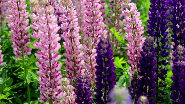 feld mit blühenden violet lupines - lupine stock-videos und b-roll-filmmaterial