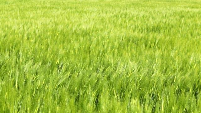 field with green wheat. - trawa filmów i materiałów b-roll