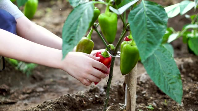 field with ripe red and green pepper. young farmer grows and harvests - paprica video stock e b–roll