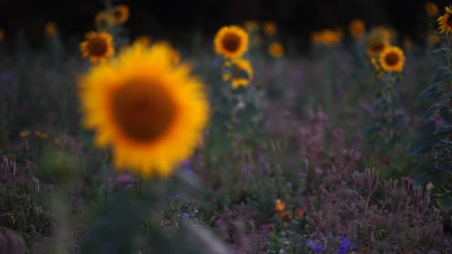フォロー フォーカスは、日没でヒマワリとフィールド - 後に続く点の映像素材/bロール