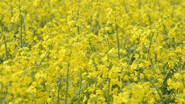 field with  yellow canola - canola video stock e b–roll