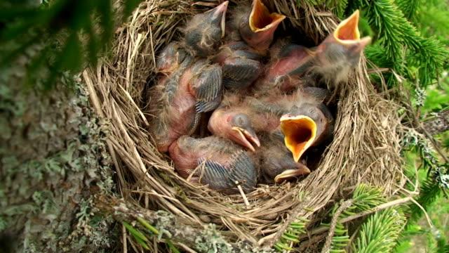 kwiczoł (turdus pilaris) żywienia piskląt - młody ptak filmów i materiałów b-roll