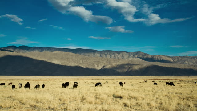 Fields Cattle and Mountains Time Lapse Time Lapse of a range of mountains as the sun sets. Clouds billow overhead while cows roam the pasture in the foreground. cattle stock videos & royalty-free footage