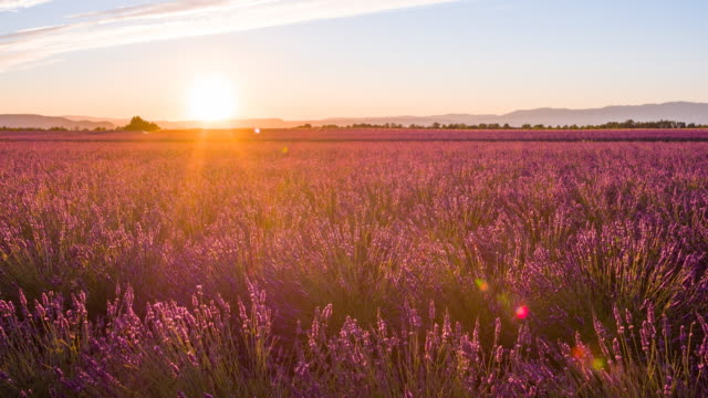 Fields of lavender at sunset video