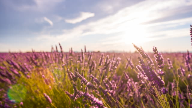 Fields of lavender in the summer time video