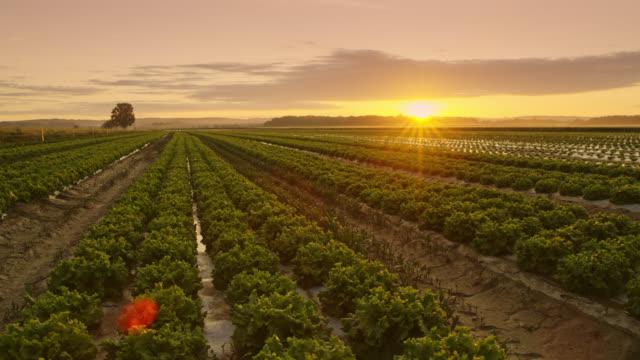 vídeos de stock, filmes e b-roll de campos de ds de alface ao nascer do sol - estilo de vida dos abastados