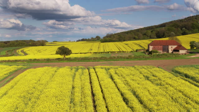 fields of rapeseed in west sussex - drone shot - south downs video stock e b–roll