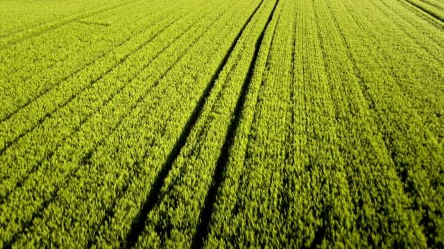 hd :フィールドの若い小麦 - 熟していない点の映像素材/bロール