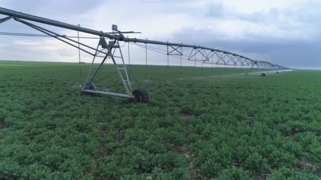 fields with rapeseed irrigated with sprinklers, large scale industrial farming