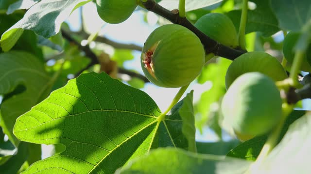 Fig fruit on a fig tree branch. Green fig on the tree.
