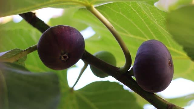 stockvideo's en b-roll-footage met vijgenboom met donkere vruchten. zwarte missie vijgen - heilig geschrift