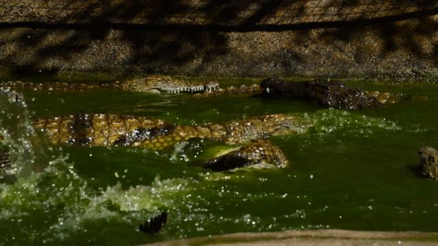 slagsmål av krokodiler i floden - utdöd bildbanksvideor och videomaterial från bakom kulisserna