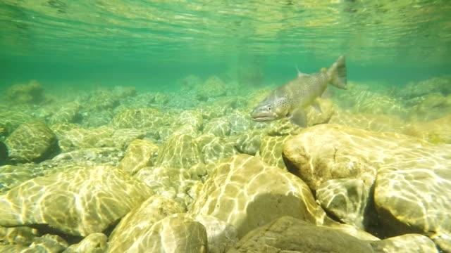kampf gegen einen große forellen-unterwasser-blick - angelhaken stock-videos und b-roll-filmmaterial