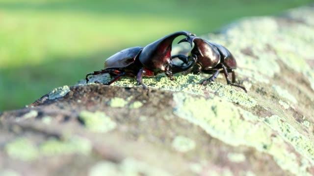 Fighting action of male rhinoceros beetle in the breeding season