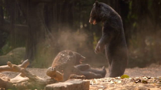 fighting bears - bear stock videos and b-roll footage