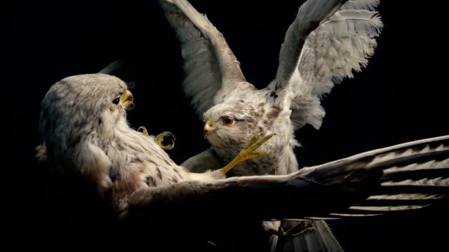 Fighting Birds Of Prey Stuffed Animal Display Tracking shot moving slowly past birds fighting taxidermy display stuffed stock videos & royalty-free footage
