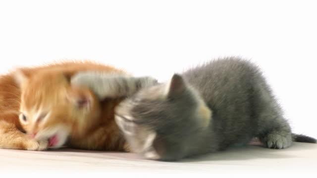 bojowy kot - kociak filmów i materiałów b-roll