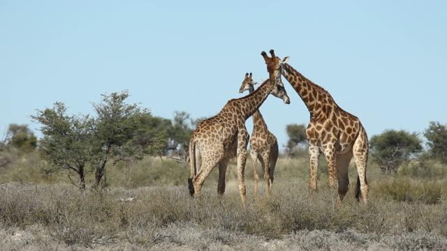 Fighting giraffes video