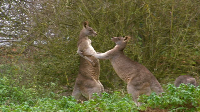 fighting kangaroos two eastern grey kangaroos boxing kangaroo stock videos & royalty-free footage