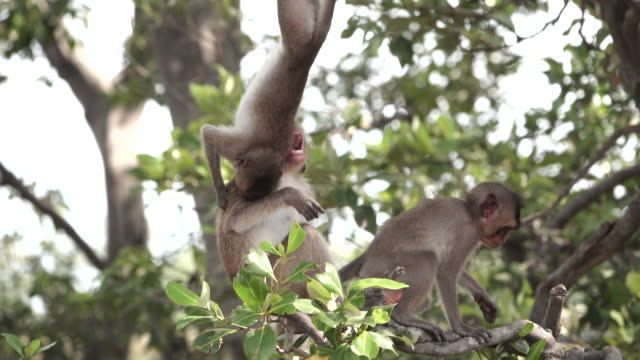 fighting monkeys on tree branches - scimmia video stock e b–roll