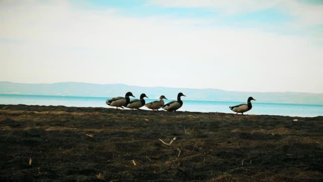 fila di anatre in riva al lago - утка водоплавающая птица стоковые видео и кадры b-roll