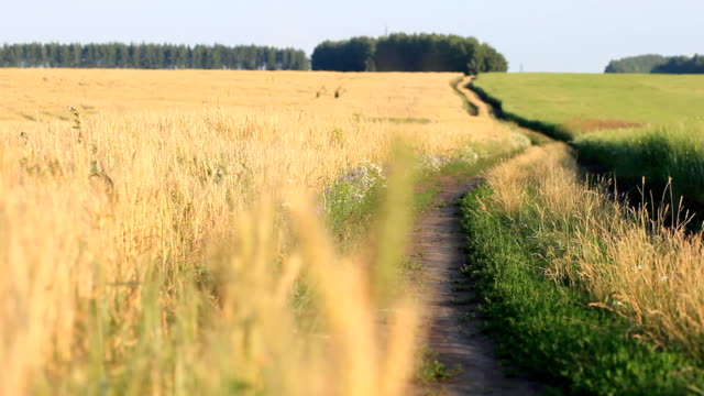 Filed of wheat on wind - follow focus to ears video