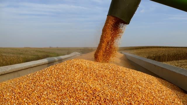 filling trailer with corn during harvesting.sunny fall day. - kukurydza zea filmów i materiałów b-roll