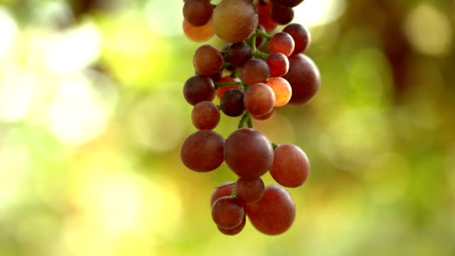 Film Tilt Up:White Grapes In Vineyard video