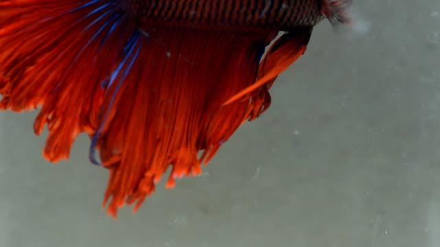 vidéos et rushes de fin de poisson combattant siamois dans l'eau fraîche - nageoire caudale