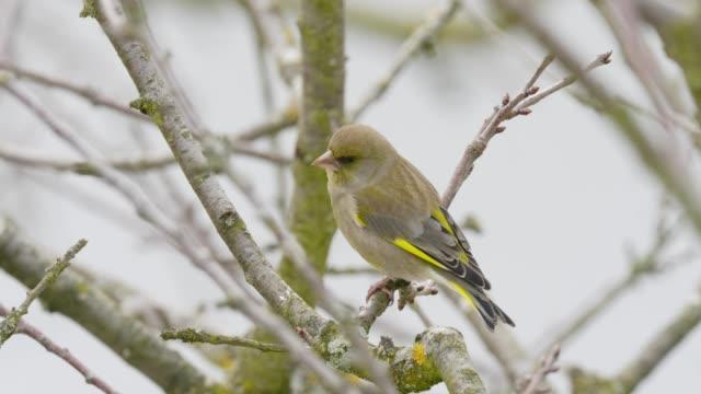 Finch on tree in winter