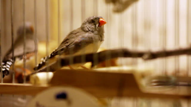 Finches in cage video