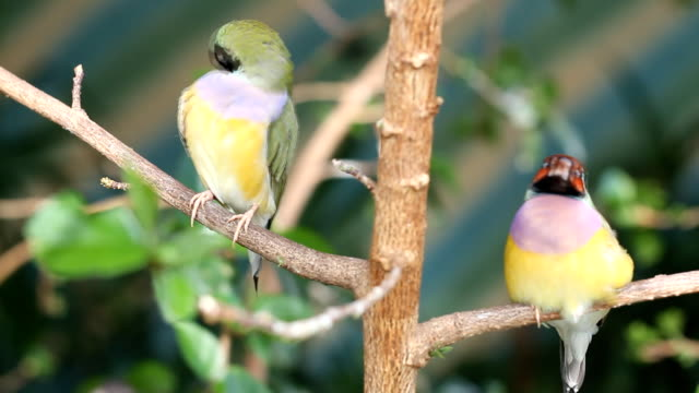 finches sitting on a branch in the forest video