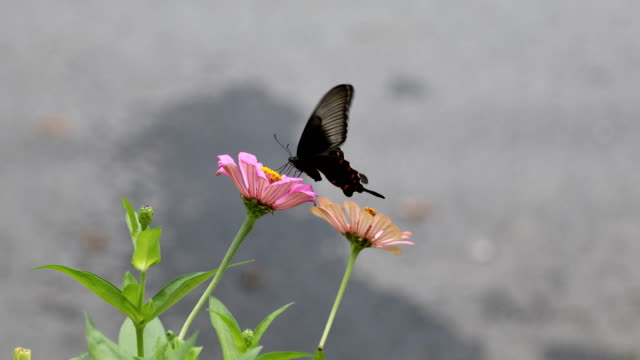 Find & Replace Swallowtail butterfly