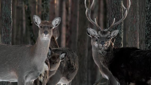 Fine deer in the nature reserve of Ukraine. video