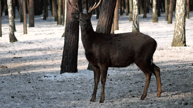ukrayna'nın doğa rezerv iyi geyik. - benekli geyik stok videoları ve detay görüntü çekimi